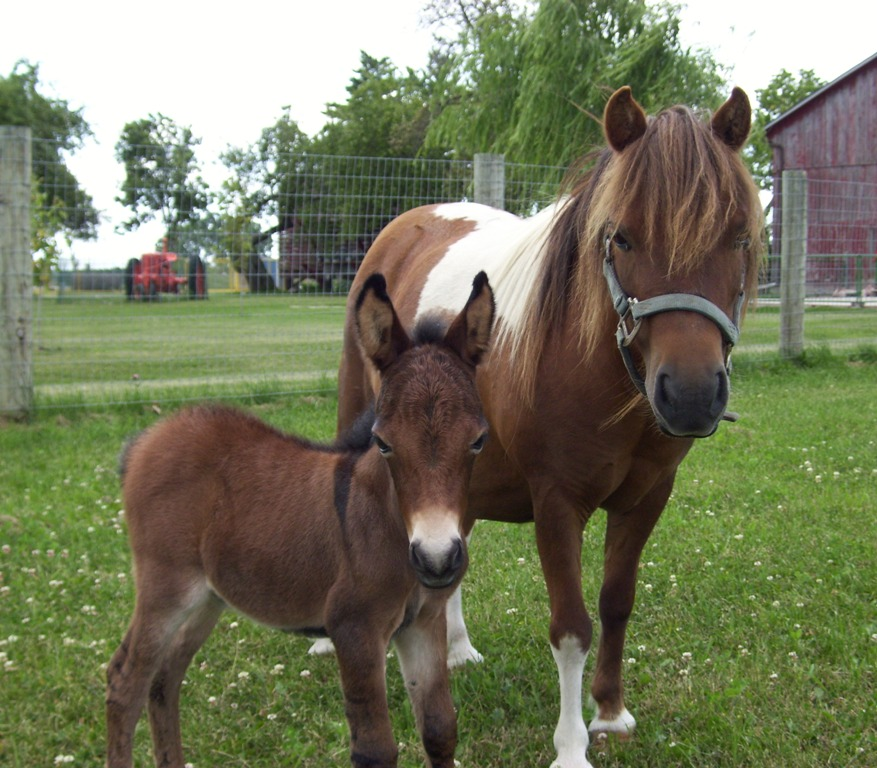 How to Care for a Miniature Horse forecasting