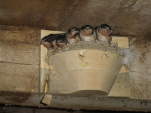 barn swallow loft facebook